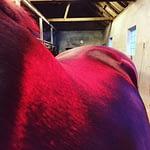 hest med Varme og bløde muskler med TDJ Horsehester